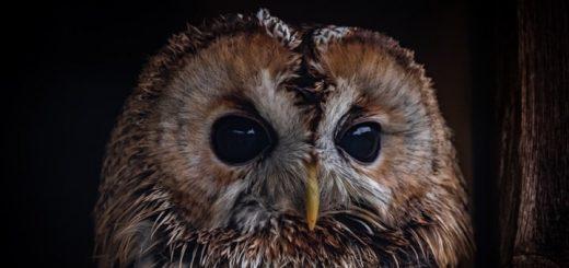 Tawny Owl Sounds