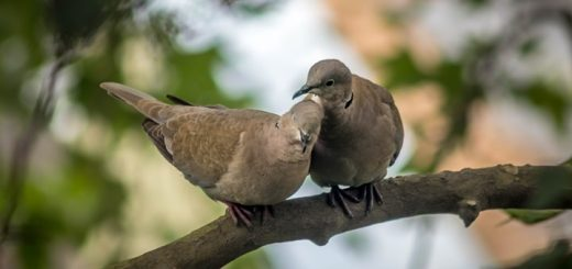 Dove Bird Call Sound
