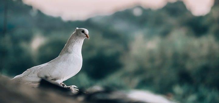 Dove Sound Effect